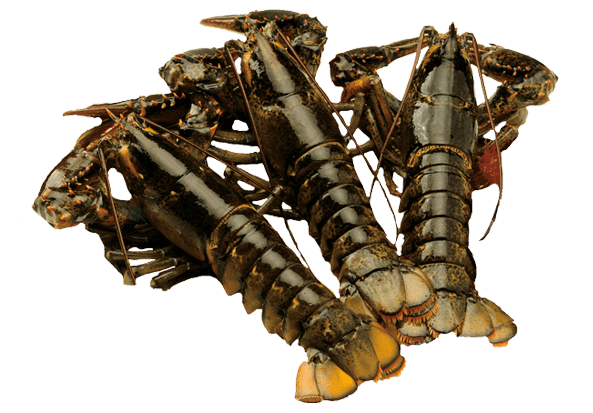 Ll 01 Live Homar Lobster 450g X 3 Ll 01 157 00 Seaborn Canada Canadian Groumet Food Based In Vancouver Bc